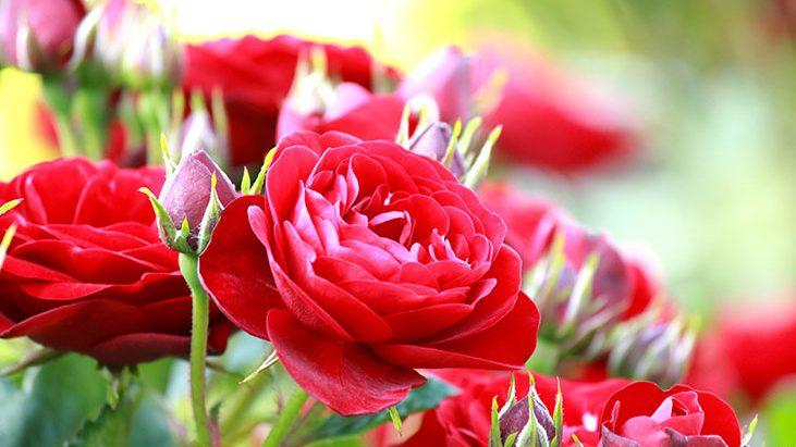 Jak na jaře správně stříhat růže