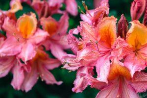 Květy rododendronu