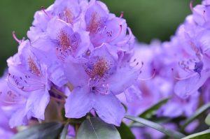 Množení rododendronů