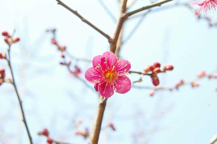 Květ třešně