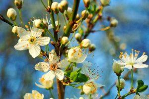 Květ višně