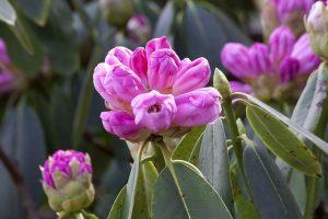 Nerozvinuté květy rododendronu