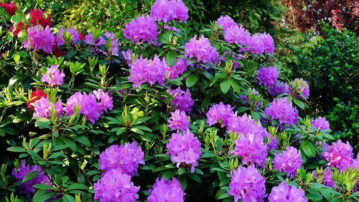 Rododendrony: pěstování, údržba a řez rododendronů