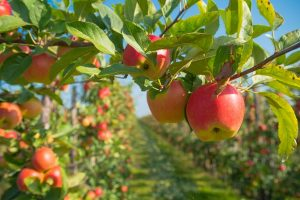 Jablka v zahradě