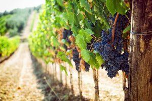 Vinná réva vysazená v řadě.