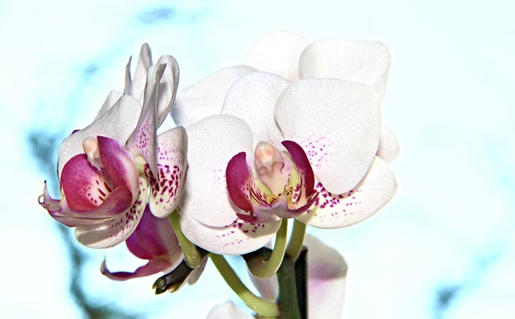 Jak pěstovat orchideje